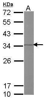 REA Antibody (PA5-21417) in Western Blot