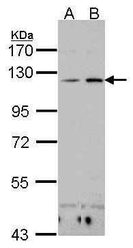 CD11c Antibody (PA5-21445)