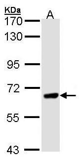 PPEF1 Antibody (PA5-21447) in Western Blot