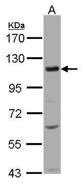 KCC4 Antibody (PA5-21452)