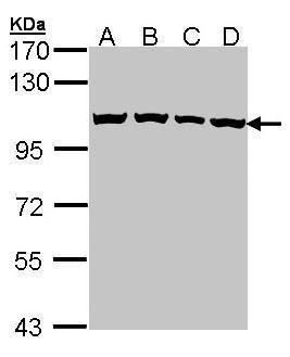 CAS Antibody (PA5-21468) in Western Blot