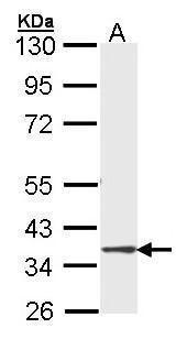 DMC1 Antibody (PA5-21472) in Western Blot