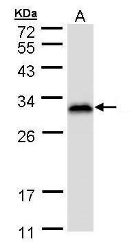 RANBP1 Antibody (PA5-21481) in Western Blot