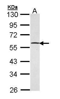 GABPB1 Antibody (PA5-21493) in Western Blot