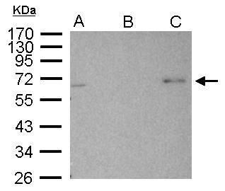 AMPK alpha-2 Antibody (PA5-21494) in Immunoprecipitation