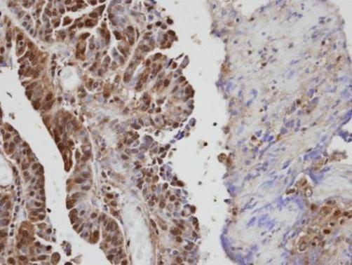 VAV1 Antibody (PA5-21495)