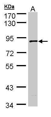 SCYL3 Antibody (PA5-21496) in Western Blot