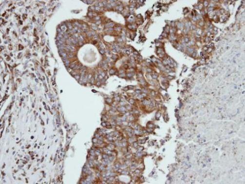 Cathepsin S Antibody (PA5-21535)