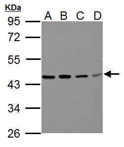 BCAT2 Antibody (PA5-21549) in Western Blot