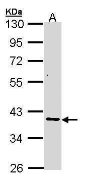 AKR7A2 Antibody (PA5-21565) in Western Blot