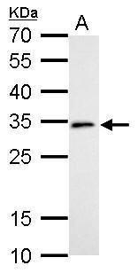 DC8 Antibody (PA5-21571) in Western Blot