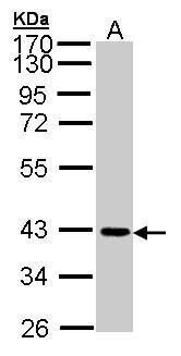JAM2 Antibody (PA5-21576) in Western Blot