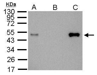 LDB1 Antibody (PA5-21577) in Immunoprecipitation