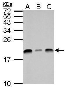 UBE2L3 Antibody (PA5-21598) in Western Blot