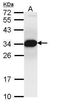 PSMF1 Antibody (PA5-21603) in Western Blot