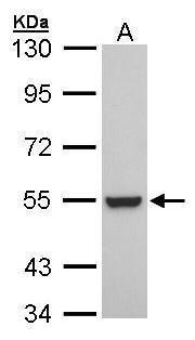 RXRB Antibody (PA5-21610) in Western Blot