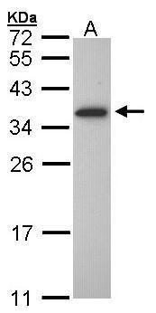 OLIG1 Antibody (PA5-21613) in Western Blot