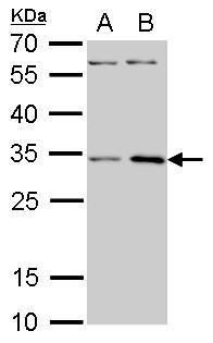 RPS3A Antibody (PA5-21632) in Western Blot