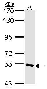 MSTO1 Antibody (PA5-21641) in Western Blot