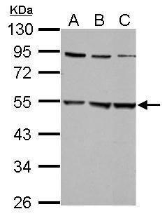 GLRA2 Antibody (PA5-21673) in Western Blot
