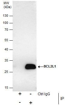 Bcl-X Antibody (PA5-21676) in Immunoprecipitation