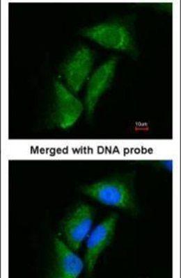 DPP3 Antibody (PA5-21709) in Immunofluorescence