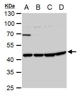 WNT11 Antibody (PA5-21712) in Western Blot