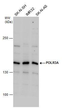 POLR3A Antibody (PA5-21730) in Western Blot