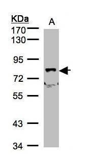 SHKBP1 Antibody (PA5-21731) in Western Blot