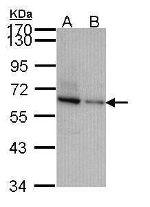 TOM1L2 Antibody (PA5-21740)