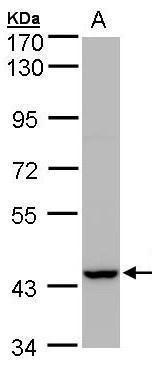 PEX13 Antibody (PA5-21751) in Western Blot