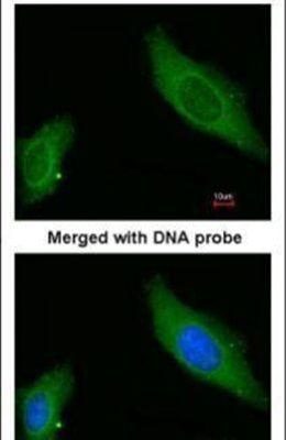 AKAP12 Antibody (PA5-21759) in Immunofluorescence
