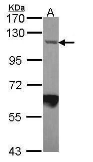 Importin 7 Antibody (PA5-21764) in Western Blot