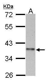 Cyclin I Antibody (PA5-21777)
