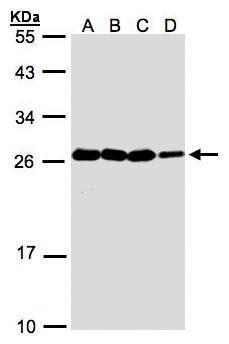 HN1 Antibody (PA5-21779) in Western Blot