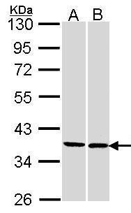 FAM50A Antibody (PA5-21781) in Western Blot