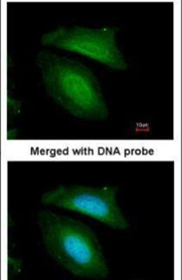 BZW2 Antibody (PA5-21808)