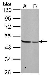 BZW2 Antibody (PA5-21808) in Western Blot