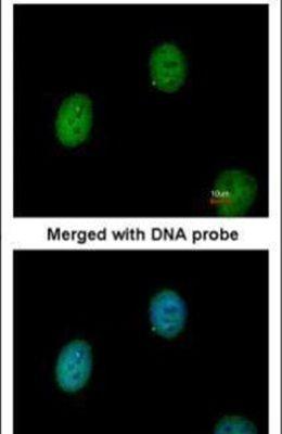 C1orf165 Antibody (PA5-21829) in Immunofluorescence