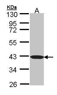 C1orf165 Antibody (PA5-21829) in Western Blot