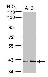PRPSAP1 Antibody (PA5-21838) in Western Blot