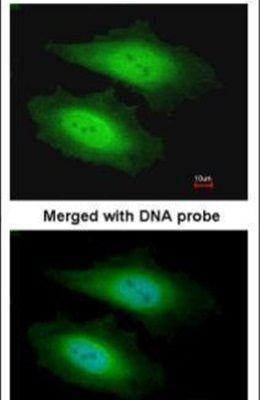PSKH1 Antibody (PA5-21843) in Immunofluorescence