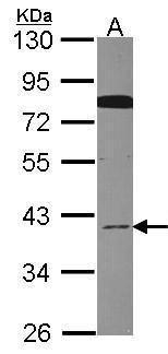 Cdc37L1 Antibody (PA5-21853) in Western Blot