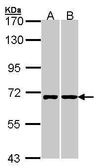 RIC8A Antibody (PA5-21855) in Western Blot