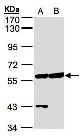 CPNE3 Antibody (PA5-21876) in Western Blot