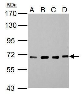 NUP62 Antibody (PA5-21882) in Western Blot
