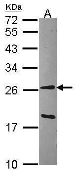 GSTA1 Antibody (PA5-21890) in Western Blot