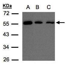ORP2 Antibody (PA5-21891)