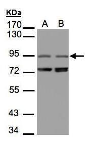 PITPNM3 Antibody (PA5-21903) in Western Blot
