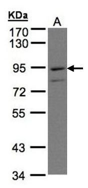 PTGFRN Antibody (PA5-21913) in Western Blot